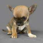 Cute pure breed chihuahua puppy